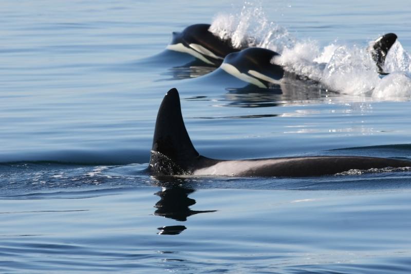Orcas San Juan Island