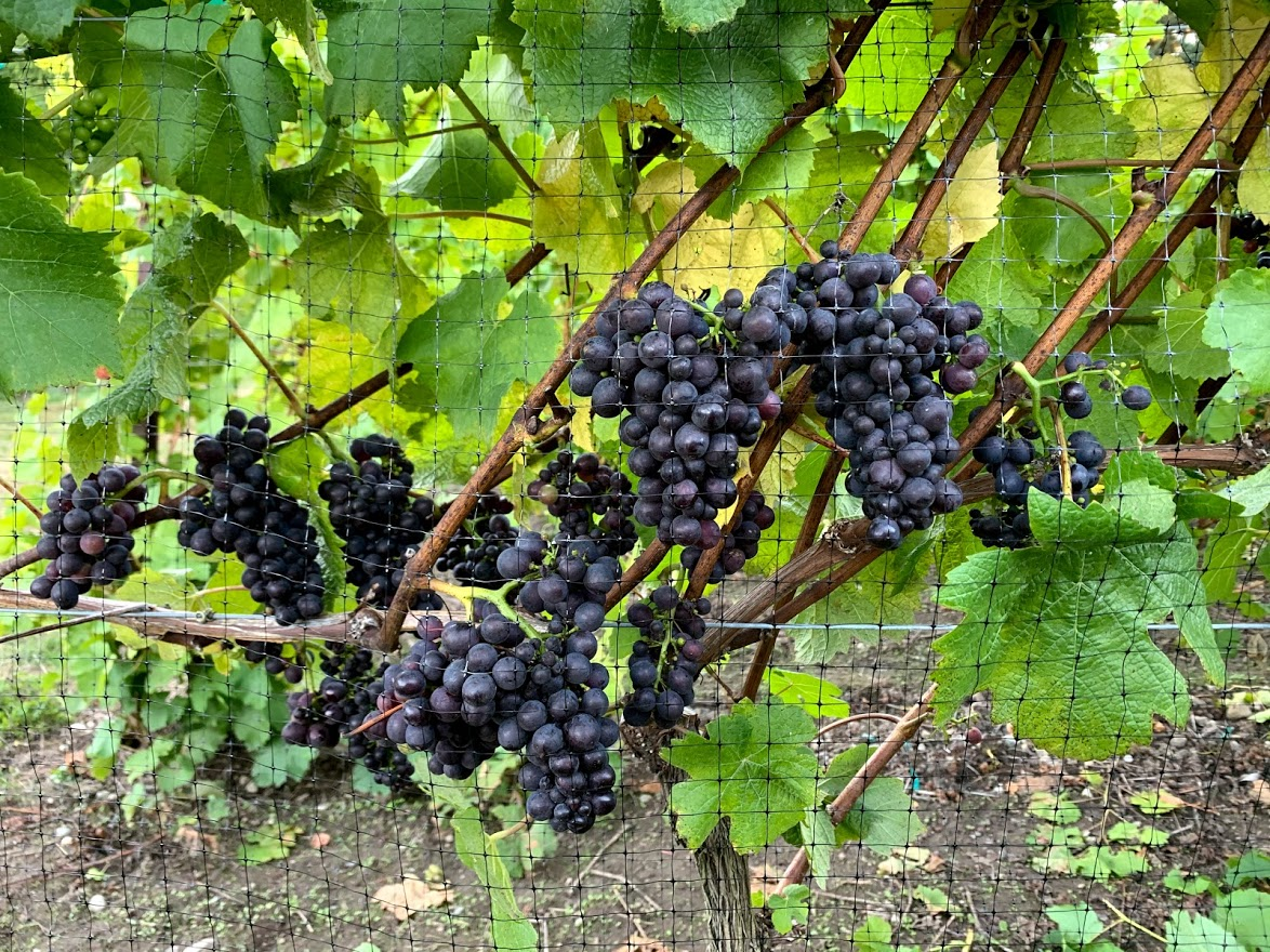 Grapes on vine at vineyard of Comforts of Whidbey