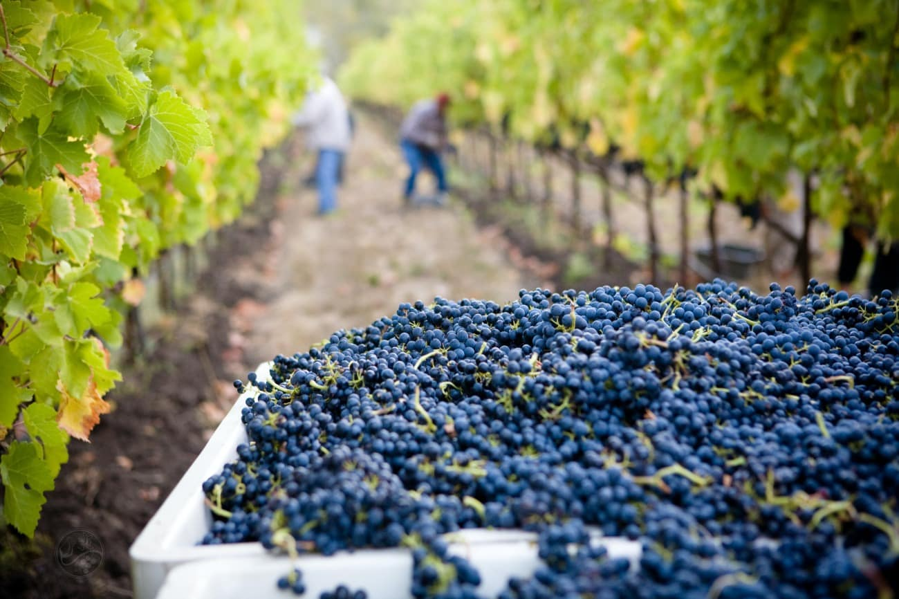 wine grapes with vineyard in background