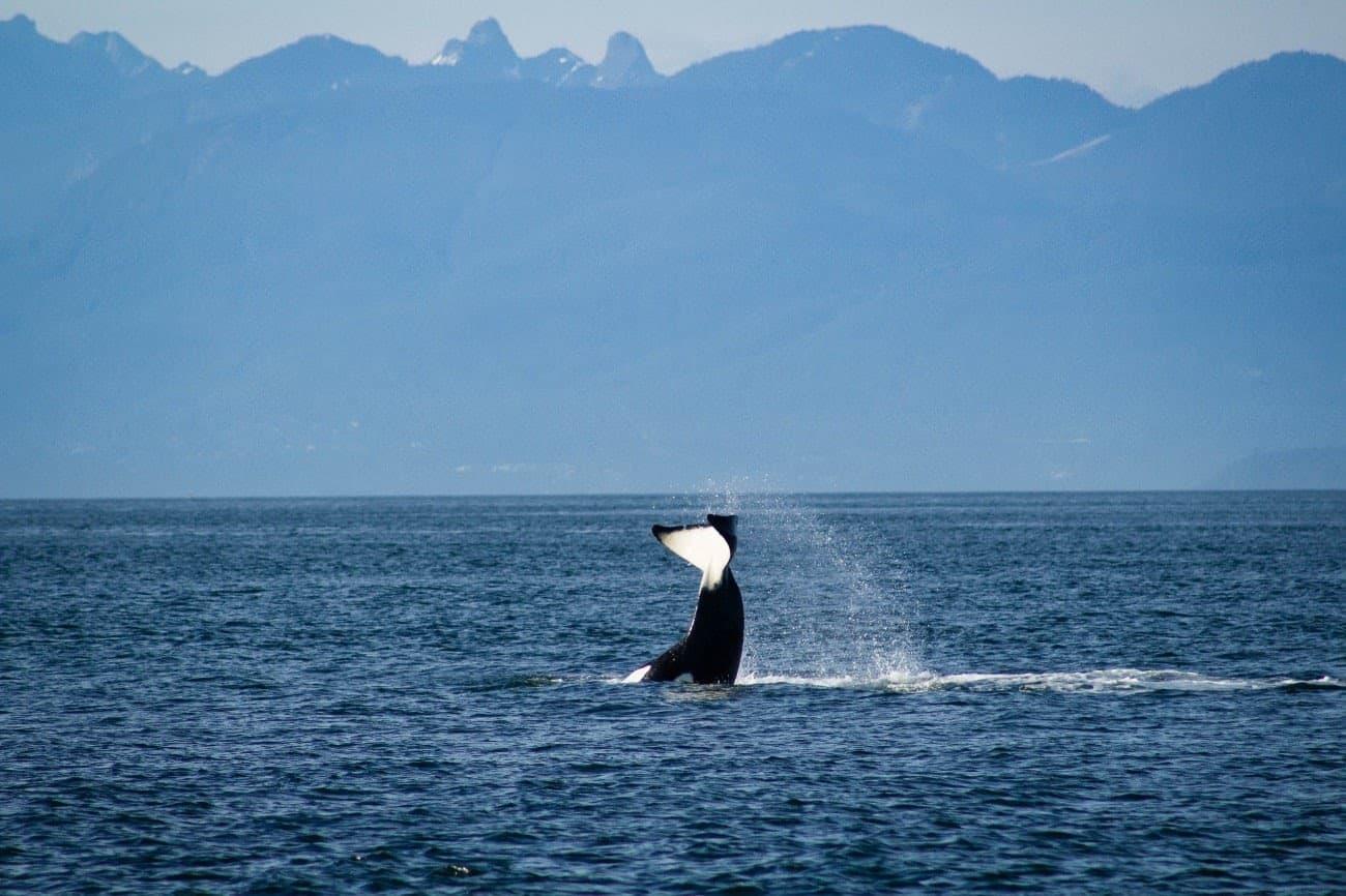 whale tail san juan islands (1)