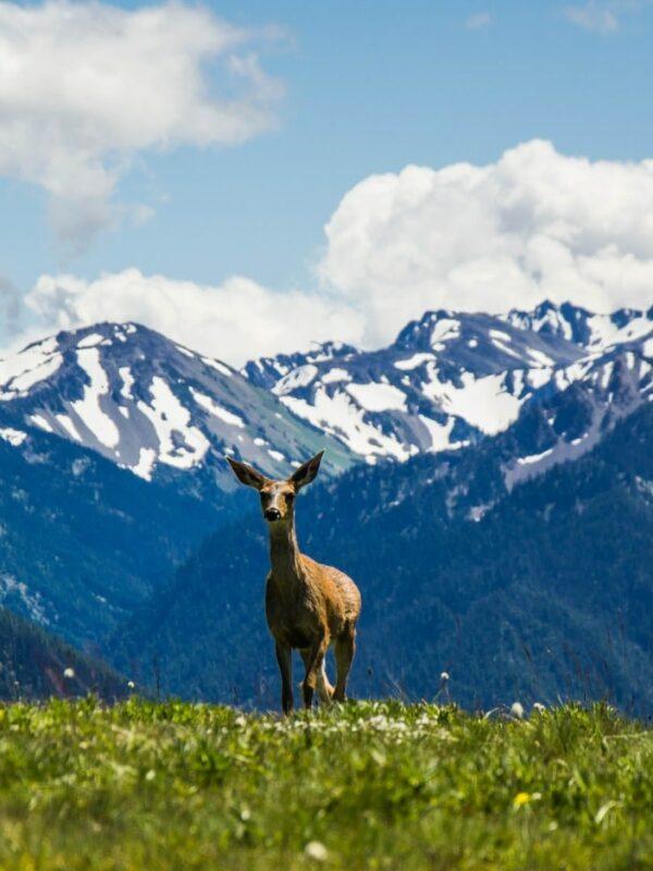 WIIN hurricane ridge deer