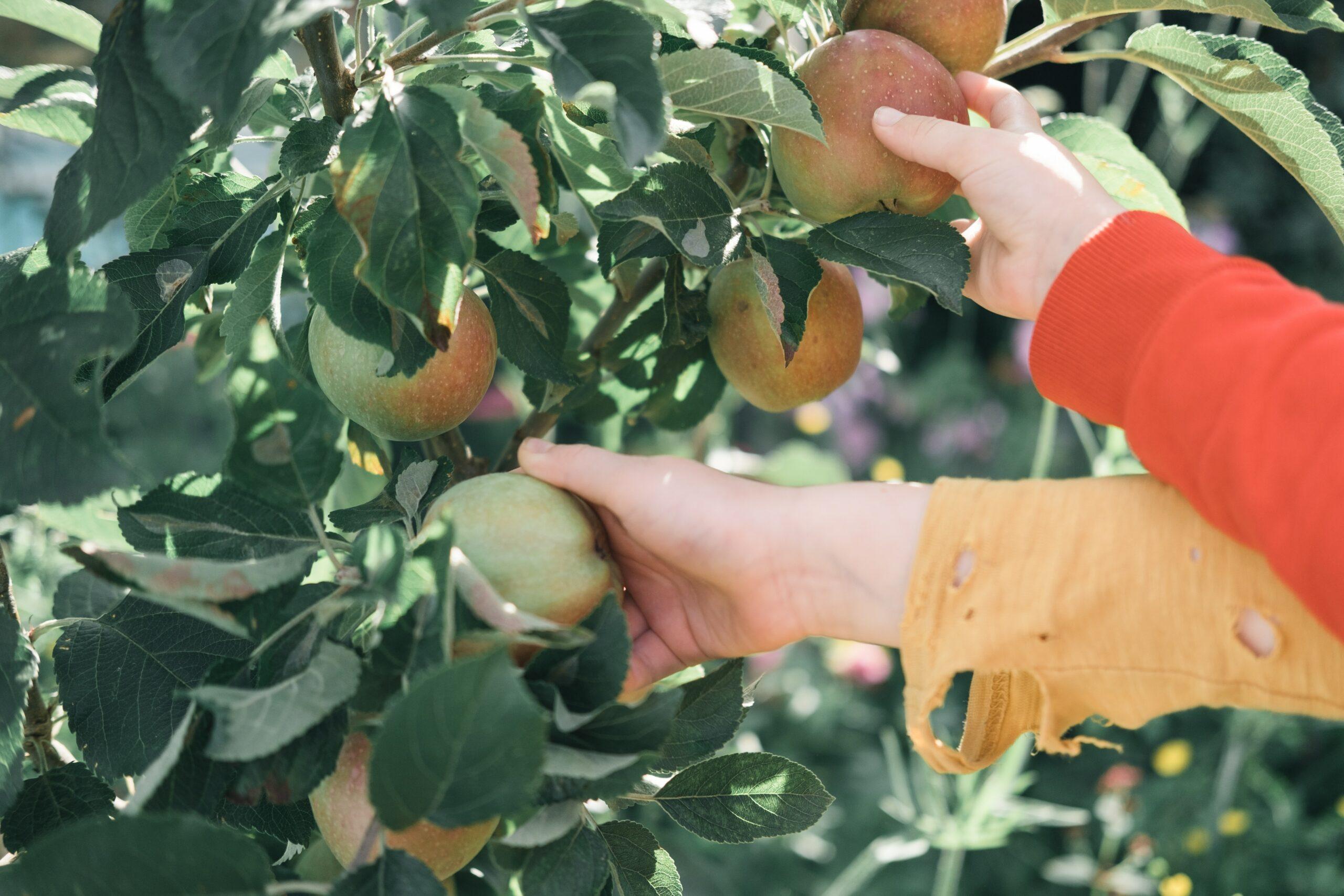 WIIN hands picking apples