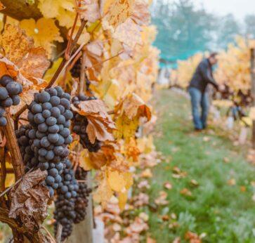 WIIN grape harvest in WA